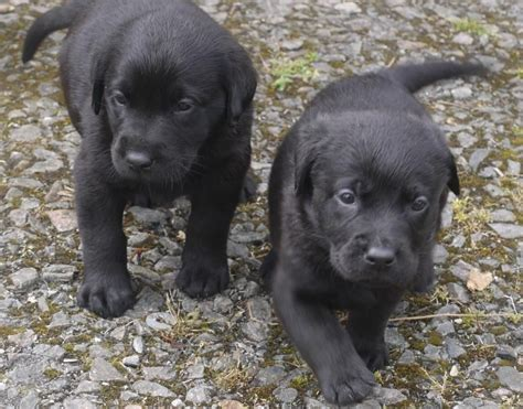puppies to go sheprador puppies ready to go bury st edmunds suffolk pets4homes