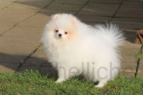 small pomeranian for sale small white pomeranian boy for sale cambridge cambridgeshire pets4homes