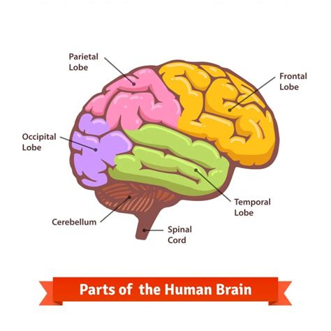 brain color colored and labeled human brain diagram vector free