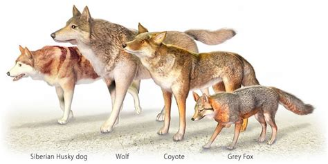 wolf size compared to wolf facts what you should in michigan s u p the cedars