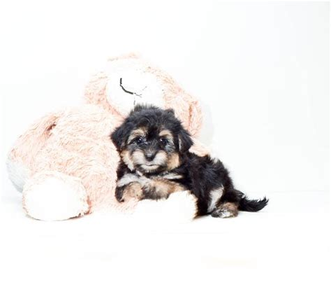 morkie puppies for sale michigan pin teacup morkie puppies for sale in michigan yrygozota on