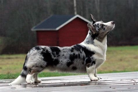 corky hund corgi cardigan