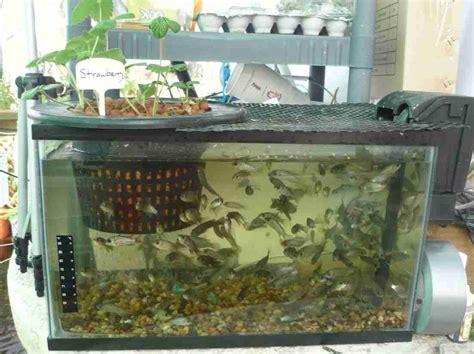 fish  aquaponics system survival skills survival