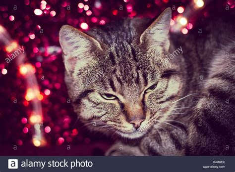 red light for cats brown tabby persian domestic cat stock photos brown