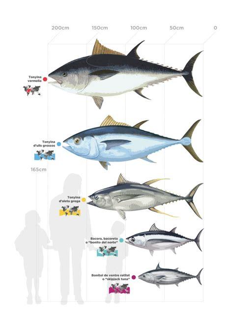 cadenas y redes troficas introduccion peix blau tonyina i peix espasa espai tonyina