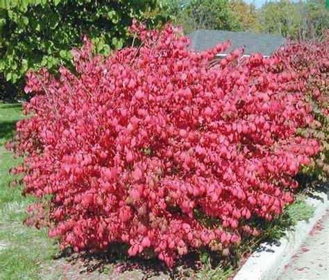 miniature shrubs that flower euonymus alatus burning bush hardy shrub 1 plant ebay