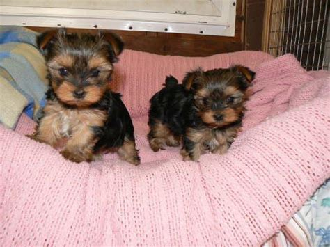 free teacup yorkies houston tx pets houston tx free classified ads
