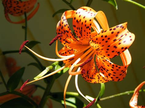 tiger lily flower pictures beautiful flowers