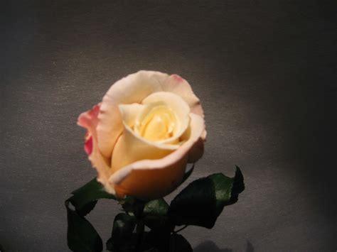 rosa 232 un fiore si regalano in ogni occasione