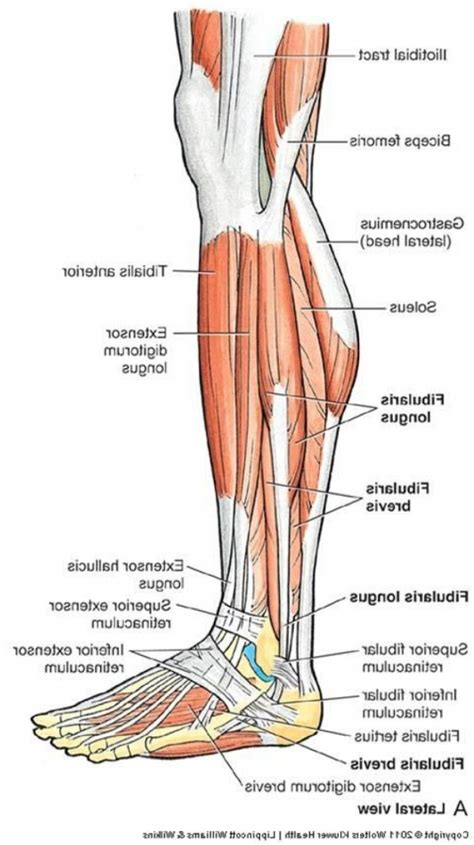 leg muscles diagram lower leg muscles anatomy lower leg muscles diagram