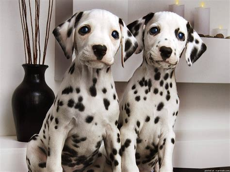 free dalmatian puppies dalmatian puppies wallpapers and images wallpapers pictures photos