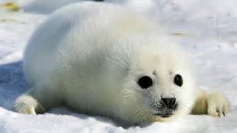 ludicrous seal hunt quota from canada s foolhardy dfo