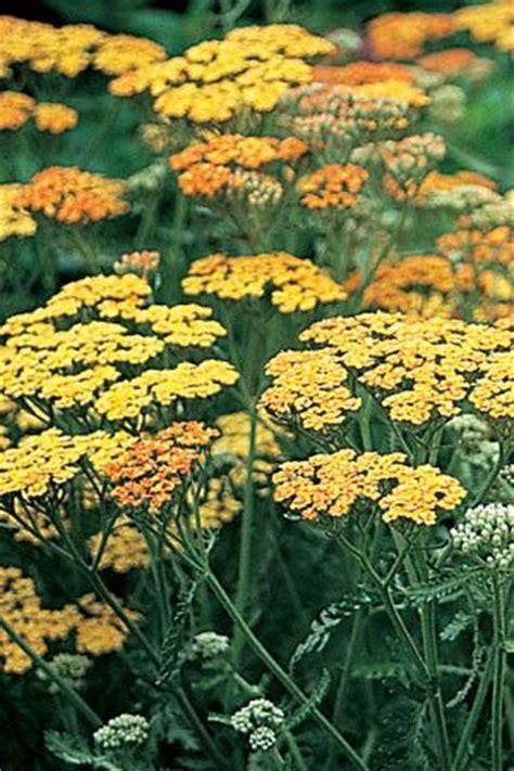 10ml yarrow chamazulene blue achillea 46 best images about june flowers on gardens