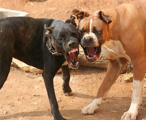 dogs fighting industry files exclusions for homeowners policies