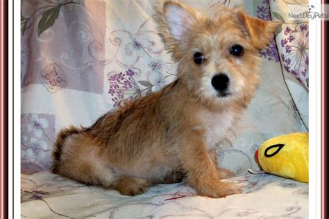 how big do yorkie dogs get how big do chorkie dogs get breeds picture