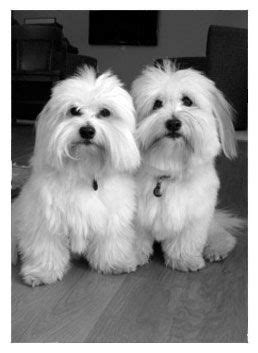 difference between coton de tulear and havanese 25 best ideas about coton de tulear on doge small dogs and