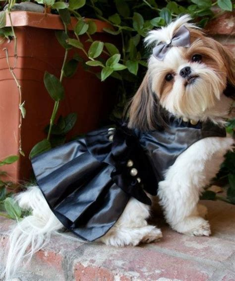 bonny the shih tzu 132 best pretty shih tzu mommie images on