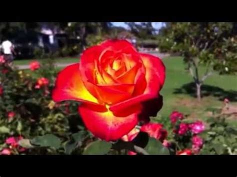 imagenes rosas mas bellas mundo imagenes de rosas mas lindas imagui