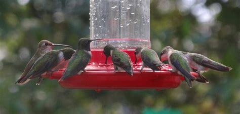 peak hummingbird migration in texas