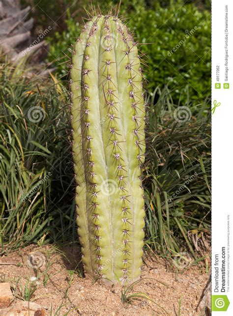 swinging cactus cactus tree in the autumn afternoon sky stock image