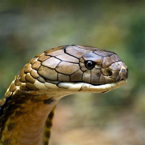the real king cobra images wallpaper savage worlds