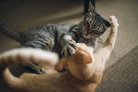 7 Ways To Stop A Cat Fight by 10 Tips To Stop Cat To Cat Aggression