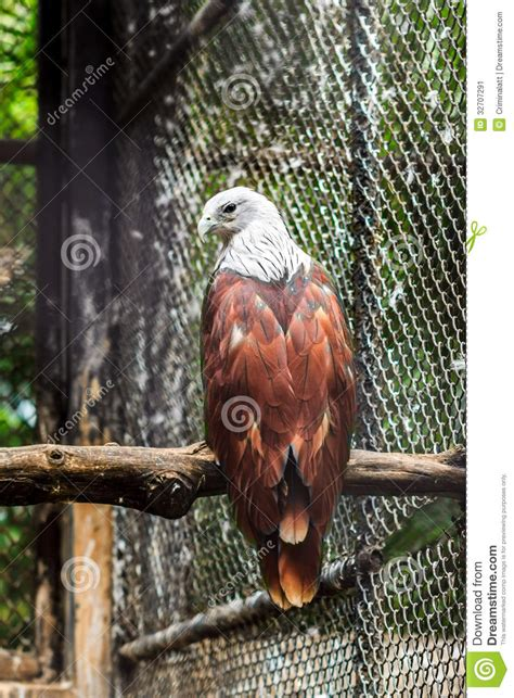 brown hawk white head stock image image