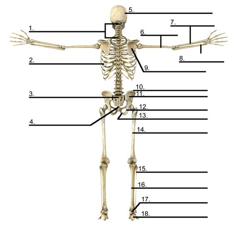 diagram of without labels skeleton diagram without labels anatomy organ