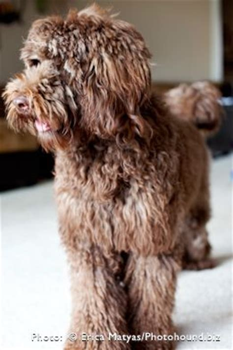 doodle name ari 17 best ideas about chocolate labradoodle on