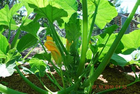 What Is The Interior Of Mesoamerica Like Growing Squash How To Grow Squash Planting Squash