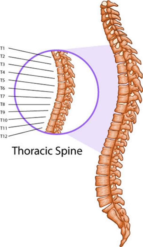 thoracic spine diagram anatomy organ pictures images collection thoracic spine