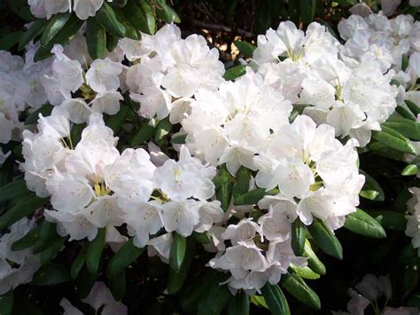 2006 convention plants rhododendron species