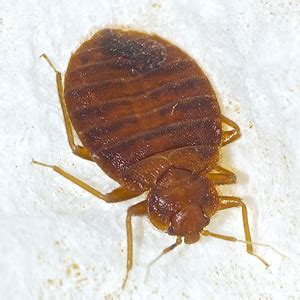 do bed bugs fly or jump bed bugs how far do bed bugs travel arrow exterminating