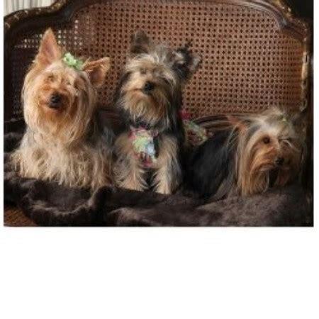 yorkie breeders in mississippi mapetite kennels and terrier breeder in cleveland mississippi