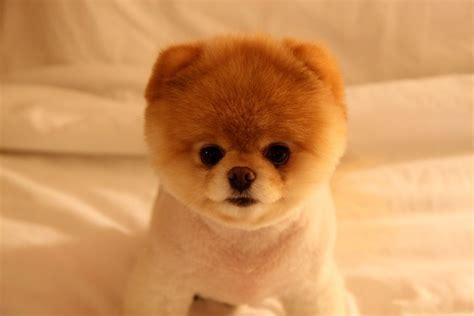 puppies that look like bears this is boo the that looks like a teddy he s so damn i m5x eu