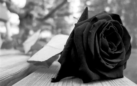 Black Roses Hd Wallpapers Free Downloads Black Roses For