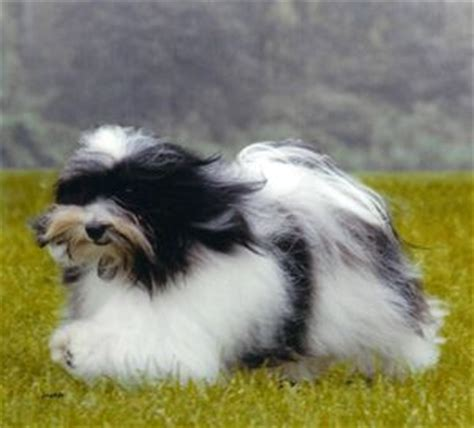 how fast does havanese hair grow 920 best havanese photos images on