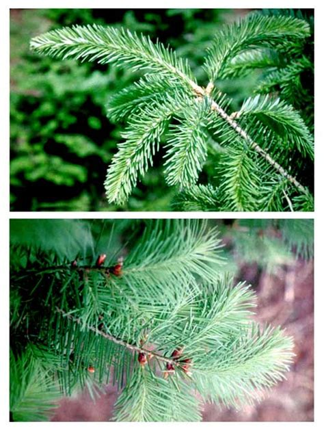 a guide to christmas tree type selection care and