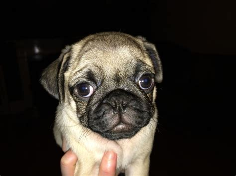 pug puppies for sale liverpool pug puppies for sale sired by sergeant pepper liverpool merseyside pets4homes