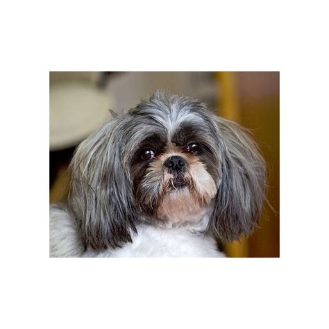 shih tzu and asthma what are the best dogs for with allergies or asthma