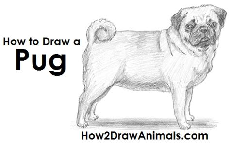 sketch of a pug how to draw a pug