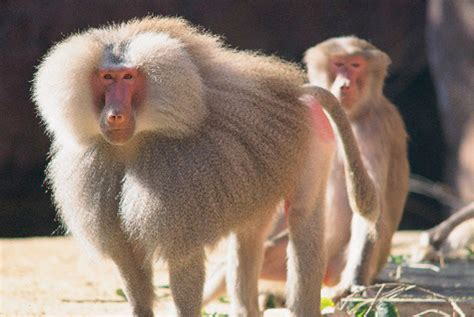hamadryas baboon perth zoo