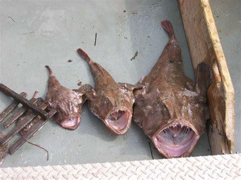 file different size monkfish jpg wikimedia commons