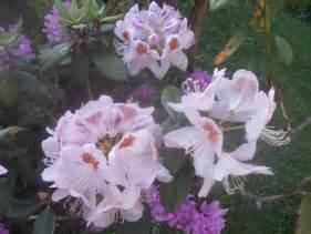 Fiori Simili Ai Rododendri by Tigri Orchidee E Rododendri Sterpaglie