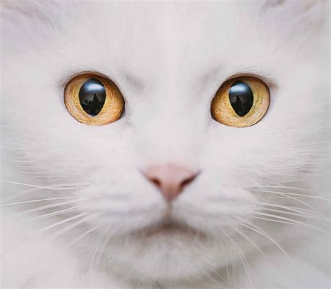 yellow eye color cat eye colors an amazing range of shades