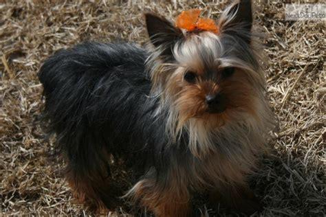 yorkie neutering meet elliot a terrier yorkie puppy for sale for 500 neutered