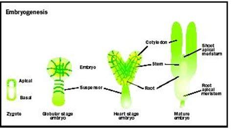 pattern formation in plant embryogenesis plant development biology encyclopedia cells body