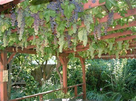 best 25 grape arbor ideas on pinterest grape vine trellis pergola garden and garden arbor