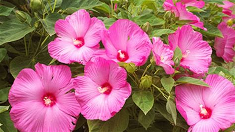 which state has a hibiscus different types of pink hibiscus where it is available