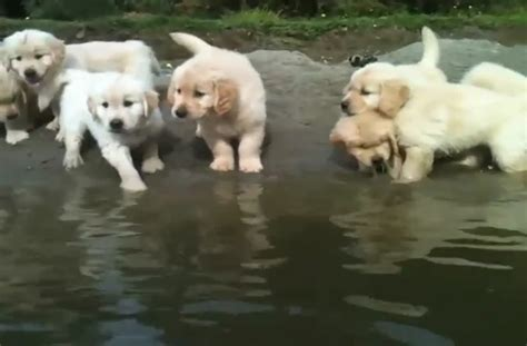golden retriever swimming seven week golden retriever puppies swimming
